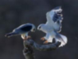 Vogelfotografie Bird in flight Grijze Wouw.