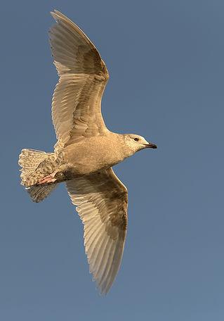 Vogelfotografie IJsland,  Grote Burgemeester.