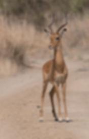 Impala alert.