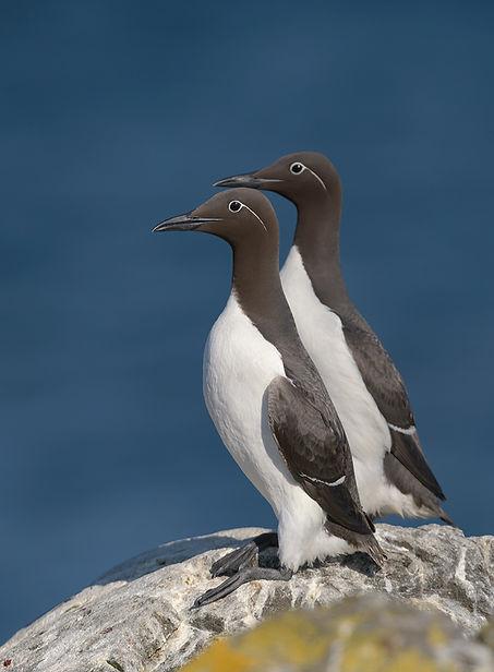 Vogelfotografie Isle of May, Zeekoet.