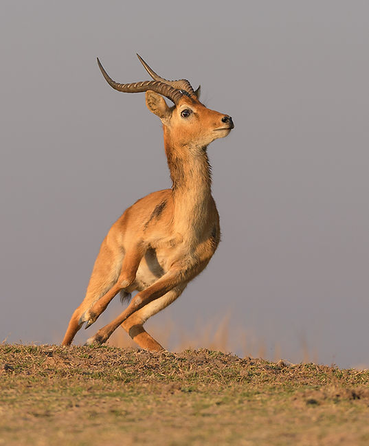 Puku (Puku antilope)