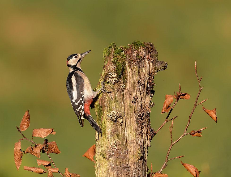 Vogelfotografie, Grote-Bonte-Specht, Schotland