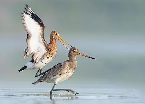 Vogelfotografie Grutto.