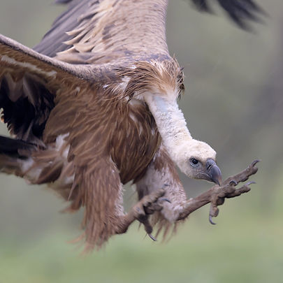 Vogelfotografie Birds in flight Vale Gier.