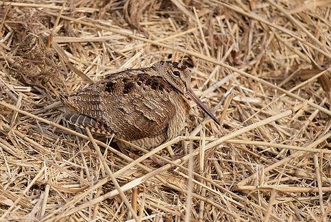 Vogelfotografie Houtsnip