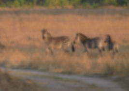 Kafue NP, Plains Zebra.