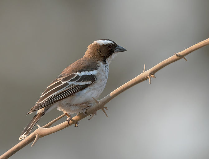 White-Browed-Sparrow-Weaver (Mahali wever)