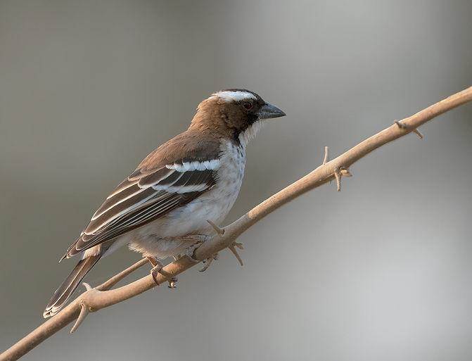 White-Browed-Sparrow-Weaver (Mahali wever)
