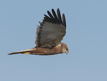 Vogelfotografie Bruine Kiekendief.