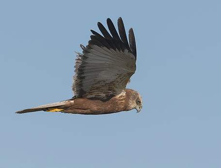 Vogelfotografie Texel.  Vluchtfoto Bruine Kiekendief