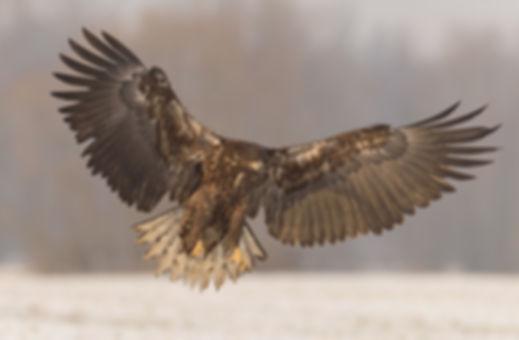 Vogelfotografie Zeearenden.