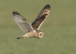 Vogelfotografie Birds in flight Velduil.