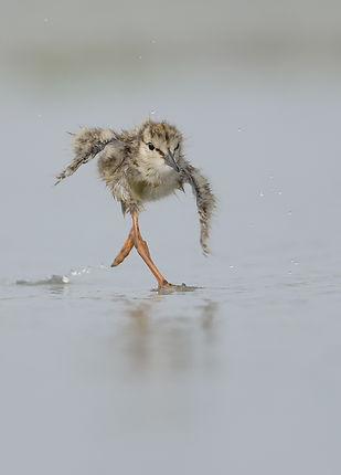 De jonge Tureluurt trekt andermaal een sprintje.
