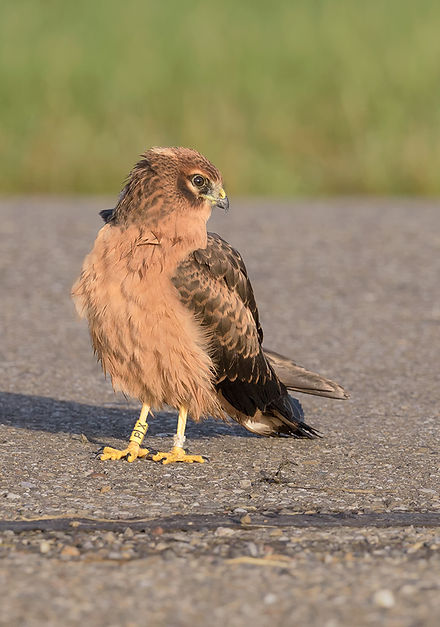 Vogelfotografie Grauwe Kiekendief.