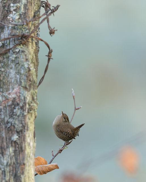 Vogelfotografie, Winterkoning, Schotland