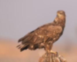 Vogelfotografie, Hongarije, Zeearend, White-tailed Eagle.
