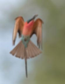 Vogelfotografie Karmijn Rode Bijeneter.