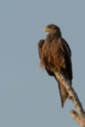 Yellow-billed Kite in Zambia gefotografeerd.