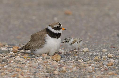 Vogelfotografie Texel. Bontbekplevier.