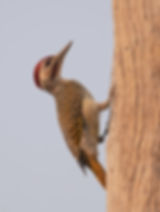 Bennett's-Woodpecker man (Bennetts Specht)