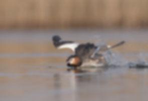 Met een buiklanding remt de Fuut op het water.