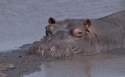 Zambia, Kafue NP, Hippo, Nijlpaard.