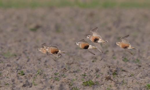 Vogelfotografie Texel. Morinelplevier.
