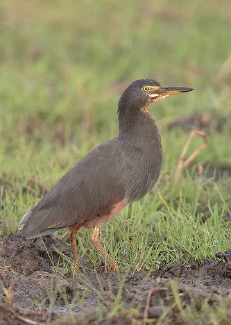 Vogelfotografie Rufous-Bellied-Heron.