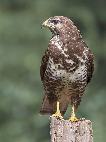 Vogelfotografie, Buizerd