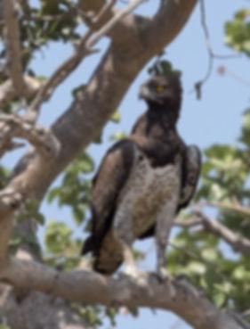 Vechtarend gefotografeerd in Zambia.