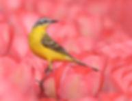 Vogelfotografie Gele Kwikstaart.
