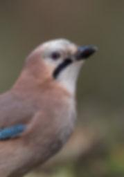 Vogelfotografie Gaai.