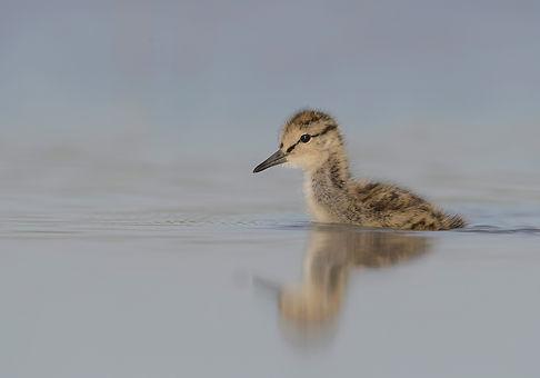 Juveniele Tureluur zwemt naar de kant.