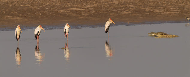 Yellow-billed Stork (Afrikaanse Nimmerzat)