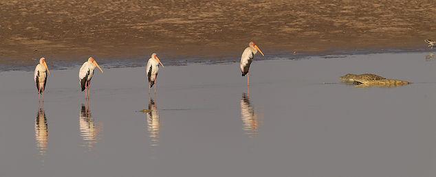 Yellow-billed Stork (Afrikaanse Nimmerzat)