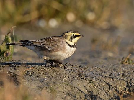 Vogelfotografie, Strandleeuwerik