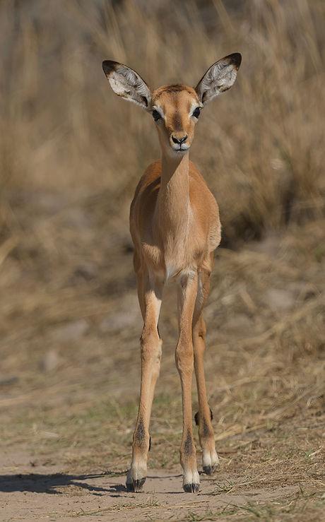 Kafue NP, Impala.