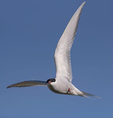 Vogelfotografie Isle of May, Noordse Stern.