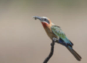 Kafue NP, White Fronted Bee-eater.