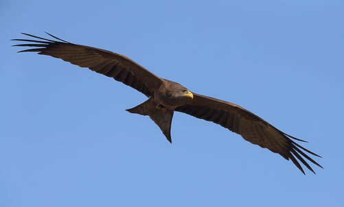 Yellow-billed Kite in Zambia gefotografeerd.