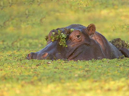 Hippo (Nijlpaard)