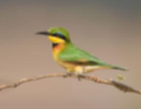 Vogelfotografie, Kleine groene bijeneter
