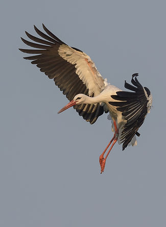 Vogelfotografie Ooievaar.
