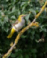 Vogelfotografie Hongarije, Wielewaal.