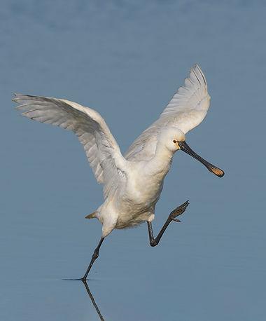 Vogelfotografie Texel.  Lepelaar