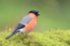 Vogelfotografie, Goudvink