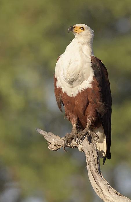 Vogelfotografie Afrikaanse Visarend.