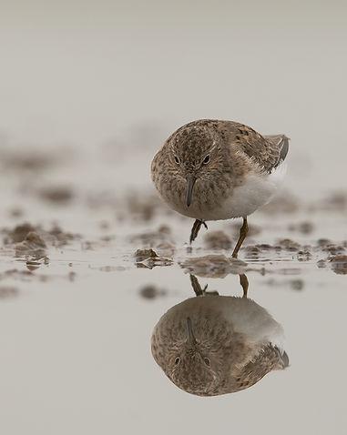 Vogelfotografie Temminck's Strandloper.andloper_DSC5341.jpg