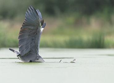 Vogelfotografie Hongarije, Blauwe reiger.