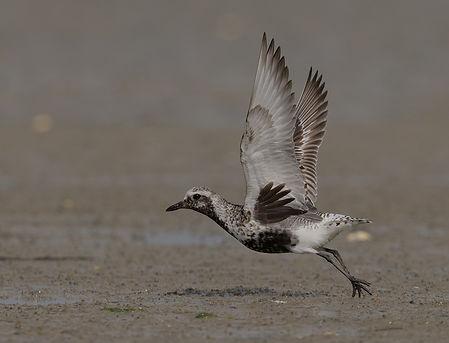 Vogelfotografie Texel. Zilverplevier.
